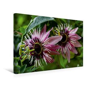 Premium Textil-Leinwand 45 cm x 30 cm quer Passiflora x violacea