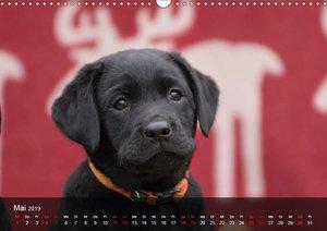 Labrador Retriever Welpen (Wandkalender 2019 DIN A3 quer)