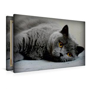 Premium Textil-Leinwand 90 cm x 60 cm quer Britischkurzhaar Katz