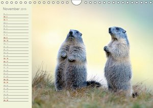 Alpenmurmeltiere (Wandkalender 2019 DIN A4 quer)