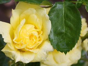 CALVENDO Puzzle Rosa \'Yellow Meilove\' 1000 Teile Lege-Größe 64