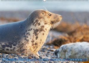 Robben - Lustige Bewohner Helgolands
