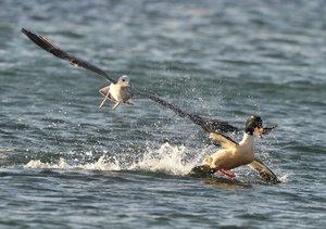 Wasservögel (Tischaufsteller DIN A5 quer)