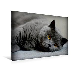 Premium Textil-Leinwand 45 cm x 30 cm quer Britischkurzhaar Katz
