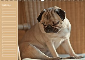 Mopsiger Geburtstagskalender (Wandkalender immerwährend DIN A2 q