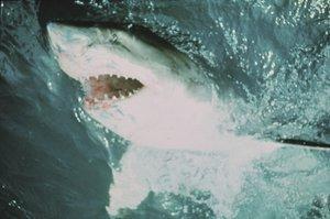 Der weisse Hai