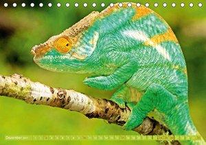 Farbwunder Chamäleon
