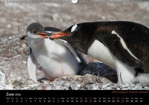 Penguins 2016 (Wall Calendar 2016 DIN A3 Landscape)