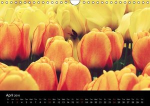Tulips - English Version (Wall Calendar 2016 DIN A4 Landscape)
