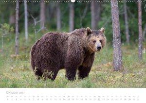 Braunbären - pelzige Riesen in Finnlands Wäldern