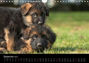 Schiller, P: German Shepherd - Puppies / UK-Version