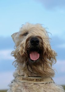 Irish Soft Coated Wheaten Terrier (Posterbuch DIN A4 hoch)