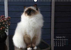Heilige Birma Katzen 2016 (Wandkalender 2016 DIN A3 quer)