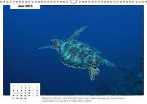 Meeresschildkröten, die Nomaden der Meere (Wandkalender 2016 DIN