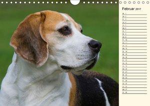 Beagle - Herz auf 4 Pfoten