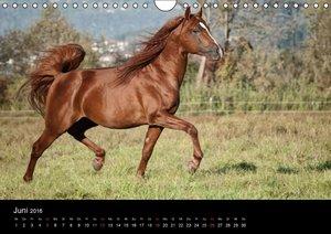 Pferdekalender (Wandkalender 2016 DIN A4 quer)