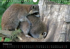 Raccoons / UK-Version (Wall Calendar 2016 DIN A4 Landscape)