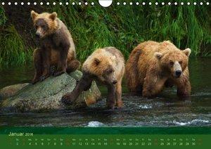Der Bärenkalender 2016 (Wandkalender 2016 DIN A4 quer)