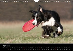 Border Collies - UK Version (Wall Calendar 2016 DIN A4 Landscape