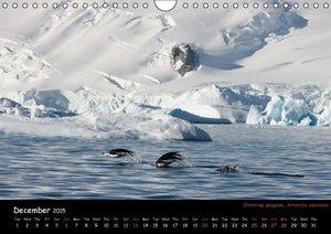Penguins 2015 (Wall Calendar 2015 DIN A4 Landscape)