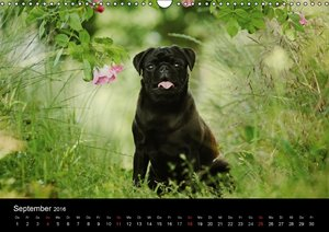 Der MOPS-Kalender (Wandkalender 2016 DIN A3 quer)