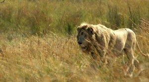 Der weiße Löwe