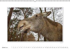 Emotionale Momente: Europäischer Elch. (Wandkalender 2014 DIN A3