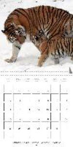 Tiger . The Beautiful Predator (Wall Calendar 2015 300 × 300 mm