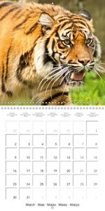 Tiger . The Beautiful Predator (Wall Calendar 2015 300 × 300 mm