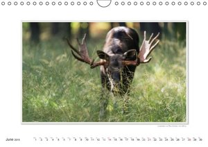 Emotional Moments: European Elk. UK-Version (Wall Calendar 2015