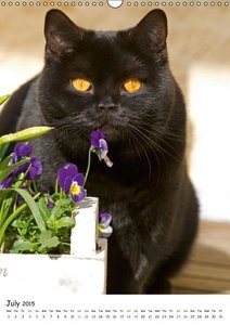British Shorthair (Wall Calendar 2015 DIN A3 Portrait)
