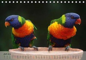 Regenbogen Papageien (Tischkalender 2016 DIN A5 quer)