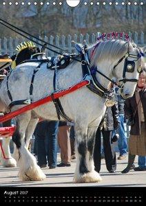 Shire Horse - Geschmückte Riesen