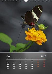 Zarte Schönheiten - Tropische SchmetterlingeCH-Version