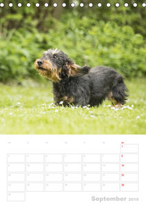 Der Dackel - mein kleiner Freund (Tischkalender 2019 DIN A5 hoch