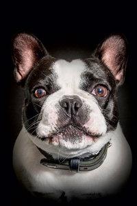 Premium Textil-Leinwand 30 cm x 45 cm hoch Französische Bulldogg