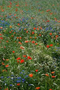 Premium Textil-Leinwand 30 cm x 45 cm hoch Mohn und Kornblumen