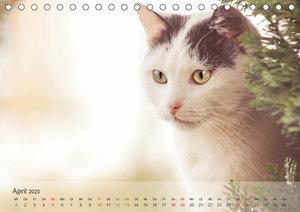Katzen 2020 Bezaubernde Samtpfoten (Tischkalender 2020 DIN A5 qu