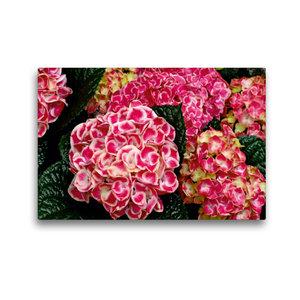 Premium Textil-Leinwand 45 cm x 30 cm quer Bauernhortensie