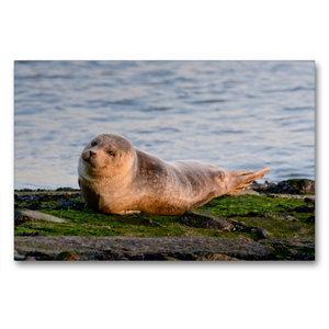 Premium Textil-Leinwand 90 cm x 60 cm quer Kleiner Seehund an de
