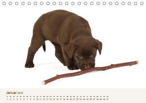 Labrador - Welpen (Tischkalender 2019 DIN A5 quer)