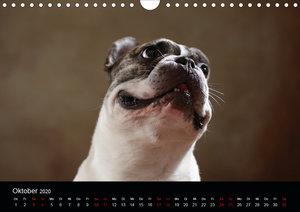 Charme auf vier Pfoten - Französische Bulldoggen Portraits