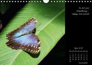 Schmetterlinge - bunte Exoten der Tropen