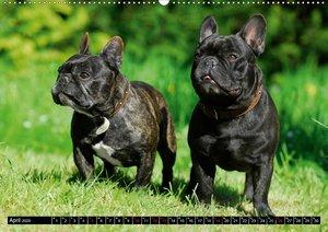 Französische Bulldogge - Clown auf 4 Pfoten (Wandkalender 2020 D