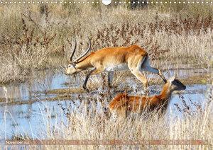 RED LECHWE Rote Sumpfantilope im Südlichen Afrika (Wandkalender