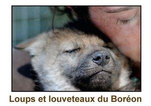 Loups et louveteaux du Boréon (Livre poster DIN A3 horizontal)