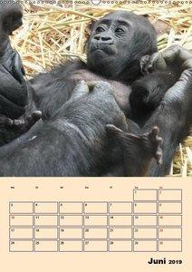 Gorillas (Wandkalender 2019 DIN A2 hoch)