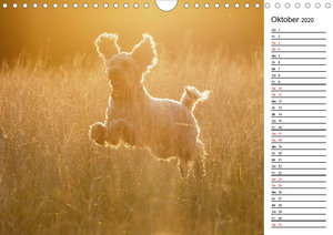 Lockenwölfe - Energiebündel Pudel (Wandkalender 2020 DIN A4 quer