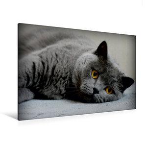 Premium Textil-Leinwand 120 cm x 80 cm quer Britischkurzhaar Kat