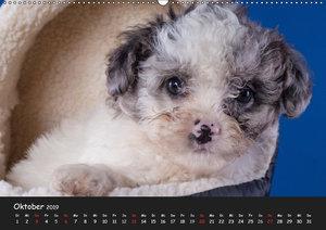 Bolonka Welpenstube (Wandkalender 2019 DIN A2 quer)